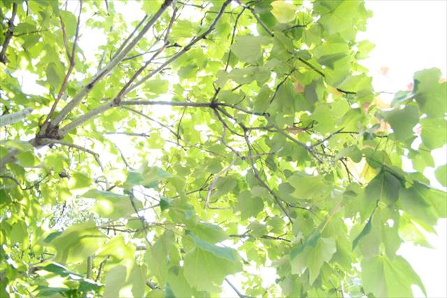 Japanesquest - Green Leaves at Ueno Park.