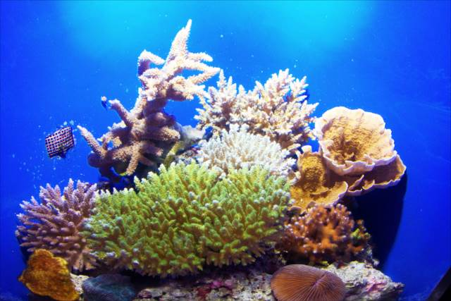 Coral Sea tank | Japanesquest