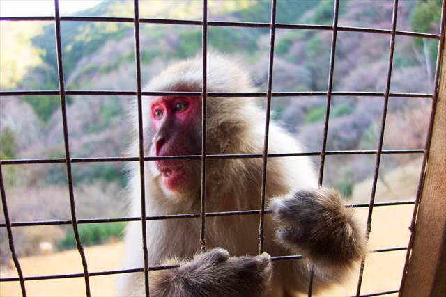 Giving food by hand in Arashiyama Monkey Park Iwatayama | Japanesquest