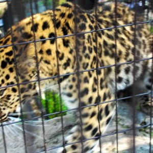 Leopard in Asahiyama Zoo | Japanesquest