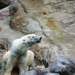 Polar Bear in Asahiyama Zoo | Japanesquest