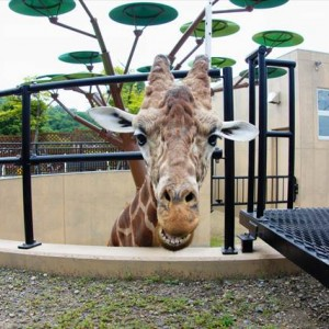 Giraffe in Asahiyama Zoo | Japanesquest