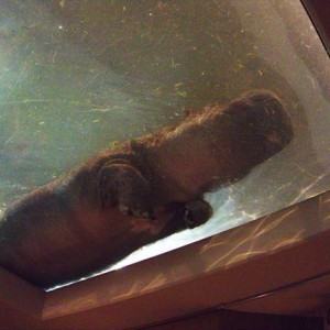 Hippopotamus in Asahiyama Zoo | Japanesquest